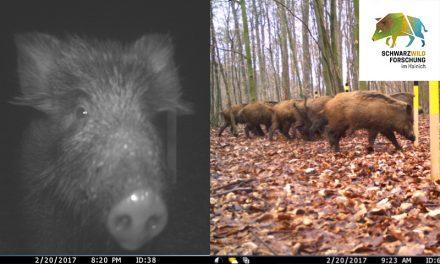 Wildschweine im Nationalpark mit GPS unterwegs