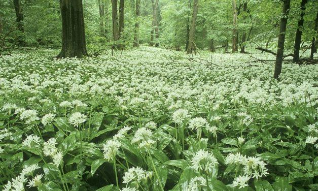 Der Bärlauch steht im Nationalpark Hainich in voller Blüte