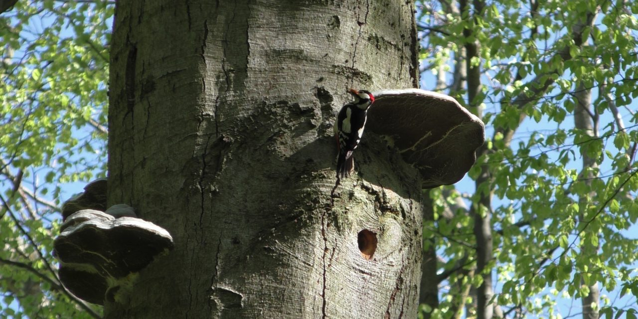 12 Jahre Specht-Beobachtung im Nationalpark Hainich