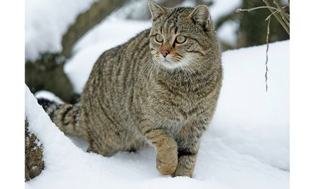 Wildkatze – Tier des Jahres 2018