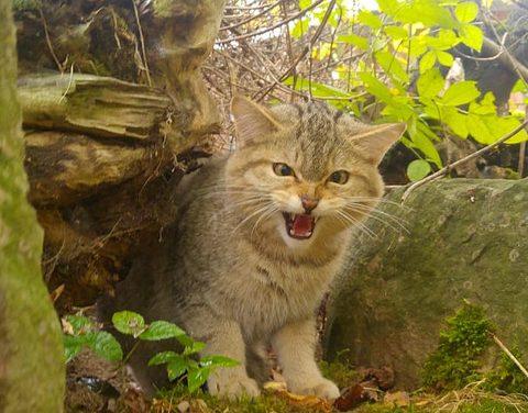 Junger Wildkater zieht ins BUND-Wildkatzendorf Hütscheroda ein